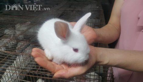 Nam Định: Nuôi gần 1 vạn thỏ, mỗi tháng lãi gần 100 triệu đồng