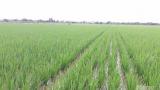Nam Định: Sâu bệnh hoành hành cây lúa
