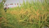 Đài Thơm 8 lấn át các giống lúa thuần ở Nam Định
