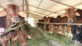 Nam Định Không để bệnh viêm da nổi cục trên trâu bò lây lan diện rộng