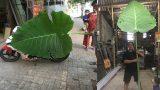 Nam Định: Phát hiện cây dọc mùng khổng lồ cao chạm trần nhà, lá che kín cả một chiếc Exciter