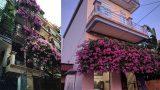 Xuất hiện giàn hoa giấy 20 năm tuổi đẹp nức lòng hội chị em ở Nam Định 'quê mình'