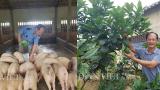 Kiếm tiền tỷ nhờ nuôi lợn bằng thảo dược