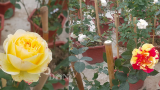 Hải Hậu: Chăm hoa hồng bán Tết, bố bỉm sữa nhẹ nhàng kiếm hơn 1 tỷ đồng