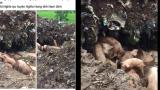 Nam Định: Sự thật về lợn đem đi tiêu hủy chạy rông trên đường