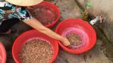 Nam Định: Nghề săn rươi kiếm hàng chục triệu mỗi ngày
