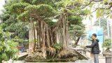 Xôn xao đại gia chi 5 tỷ mua cây sanh nguồn gốc Nam Định nổi tiếng bậc nhất Việt Nam