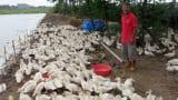 Từ 30 triệu đồng vốn gây dựng nên đàn ngan 2.000 con và đàn bò 10 con