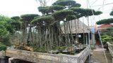 Choáng váng cây sanh cổ rễ đan như phím đàn, chủ nhân tuyên bố 10 tỷ mới bán