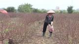 Nông dân Nam Định lao đao do mất mùa đào