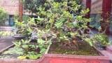 Gốc ổi bờ ao: Độc phẩm nổi danh đất Nam Định