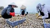 Mở hướng tiêu thụ ổn định vùng ngao Nam Định