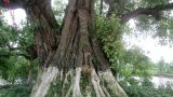 Ngỡ ngàng cây Bồ Đề hơn 800 trăm tuổi tại Nam Định