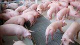 Thận trọng tái đàn sau dịch tả lợn châu Phi