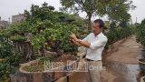 Độc đáo mô hình trồng quất bonsai
