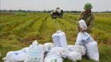 Gần 4.500 ha lúa Mùa tại Nam Định bị ảnh hưởng bởi mưa bão