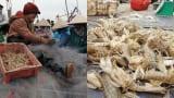 """Nam Định: Ra biển kéo lưới trúng đậm tôm """"hung dữ"""" toàn con to bự"""