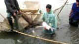 Nam Định: Hối hả thu cá dịp Tết, thu nhập mỗi hộ lên đến cả trăm triệu đồng