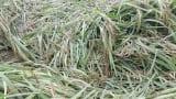 Thái Bình, Nam Định thiệt hại gần 10.000 ha lúa vì mưa lớn