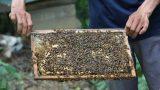 Nam Định: Làm giàu từ nghề nuôi ong dưới tán rừng sú vẹt