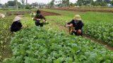 Toàn tỉnh thu hoạch được 7.690ha cây rau, màu vụ đông