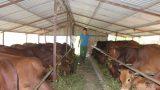 Nam Định có 44/60 xã khống chế được bệnh viêm da nổi cục