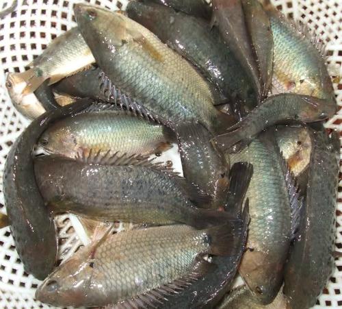 Cá rô rất khỏe, vây sắc, nếu không cẩn thận dễ bị vây cá đâm vào tay. Ảnh: Lai Buu