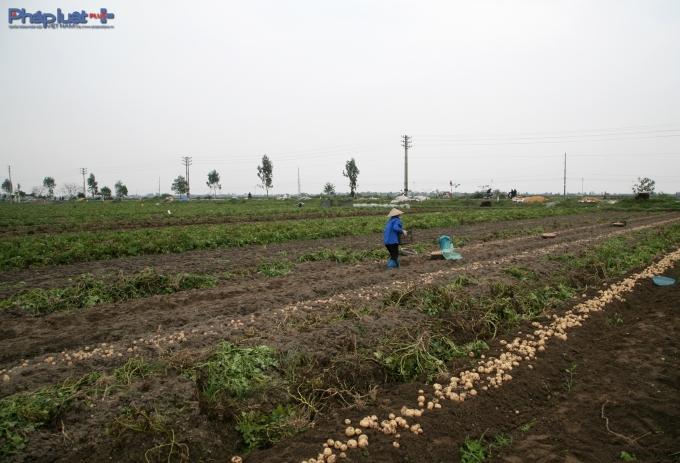 Nhiều nơi trên địa bàn huyện Nam Trực trồng khoai tây phục vụ cho tết. (Ảnh: Minh Trang).