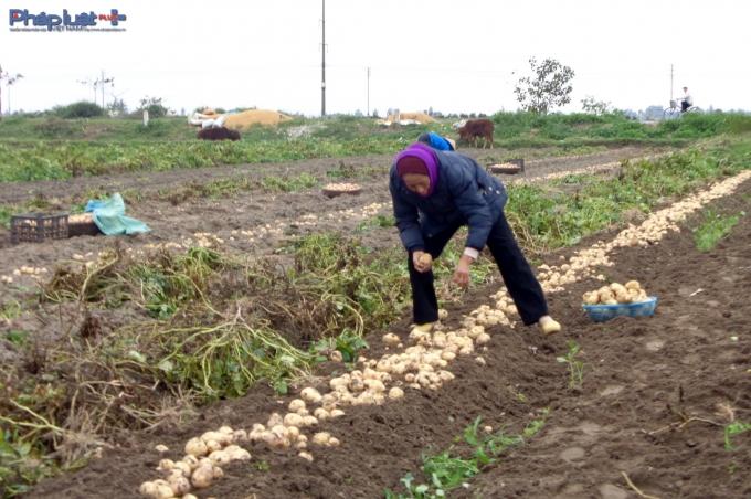 Cả cánh đồng rộng mênh mông của thị trấn Nam Giang được xen canh khoai tây. (Ảnh: Minh Trang)).