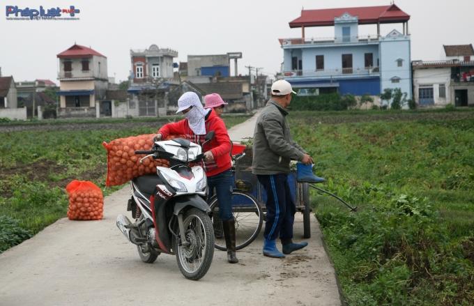 Khoai được gói gọn vào từng túi và tập kết bên lề đường. (Ảnh: Minh Trang).