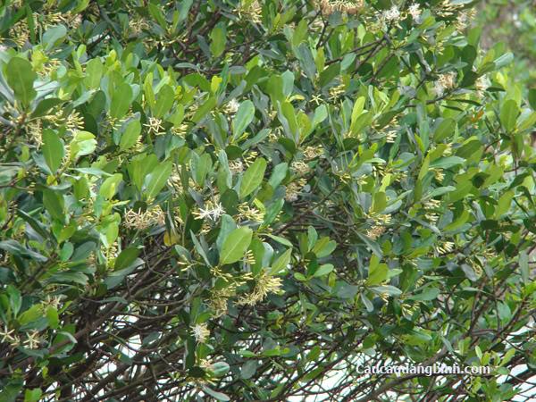 Cây sú vẹt  tại  Khu bảo tồn nguyên sinh Rừng Ngập mặn Quốc gia Xuân Thủy Đây (Ramsa Xuân Thủy)