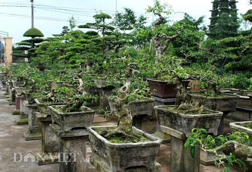 Có rất nhiều chậu bonsai cho khách lựa chọn.
