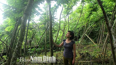 Chị Đinh Thanh Nhung, xóm 3, xã Nghĩa An (Nam Trực) chăm sóc cây sưa trong vườn nhà.