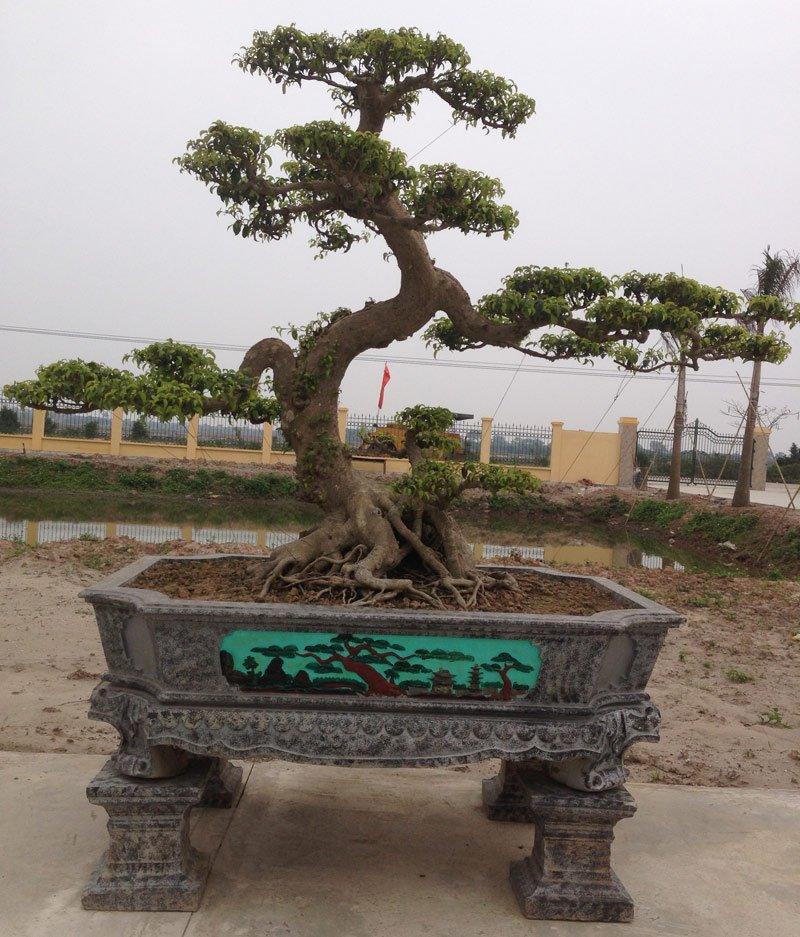 Nét mảnh mai, mềm mại của cây sanh, không hoành tránh như những siêu cây bề thế