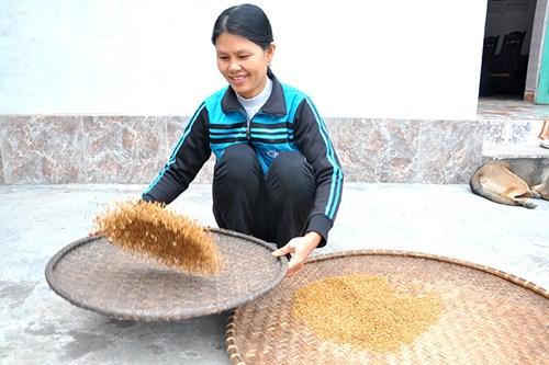 Hạt lúa Tám Xoan có màu vàng nâu, tỏa mùi thơm nhẹ