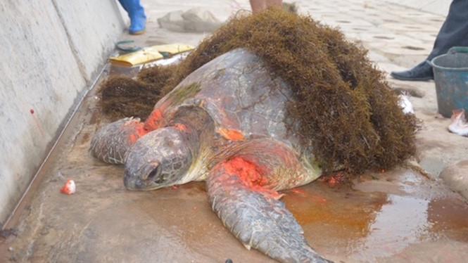 """""""Cụ rùa"""" đã được cứu chữa và đưa về Vườn quốc gia Xuân Thuỷ"""