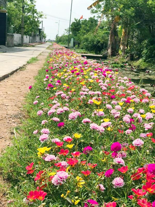 Khắp các con đường ở Hải Hậu, người dân đều chung tay trồng hoa mười giờ ở ven đường.