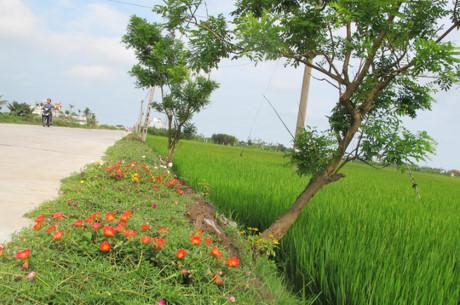 ...và nở rộ lúc trưa nắng ven đường bên cánh đồng lúa xanh mướt