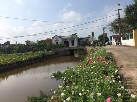 Trên con đường của xóm, ven đường được làm sạch cỏ để trồng loài hoa mười giờ đa sắc màu