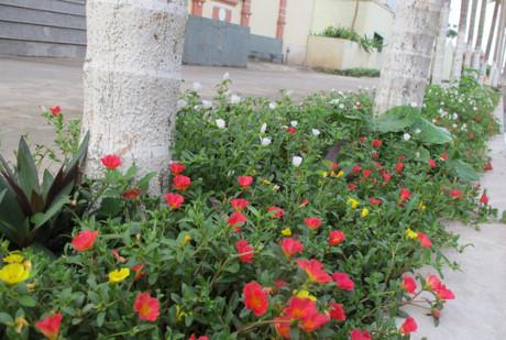 Dưới những hàng cau cũng tràn ngập sắc hoa mười giờ
