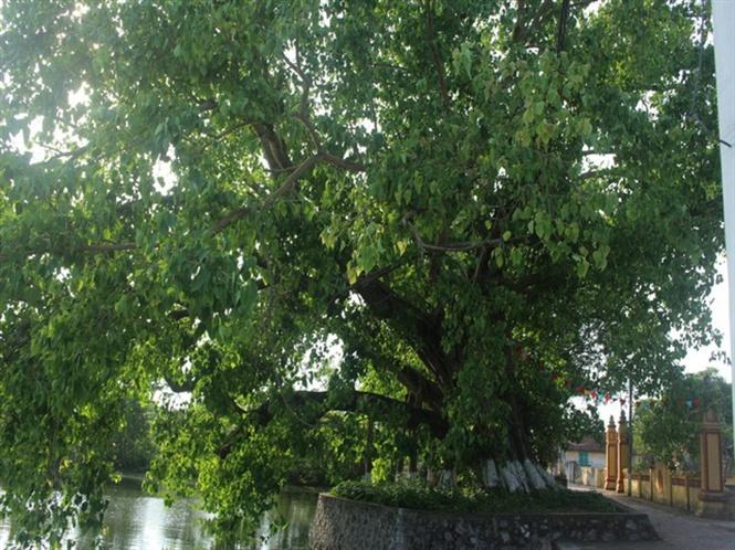 Cụ cây tỏa bóng trước cổng chùa