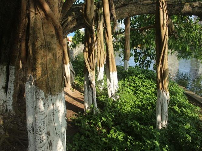 Xung quang gốc có khoảng 7 rễ to khoảng 40 cm