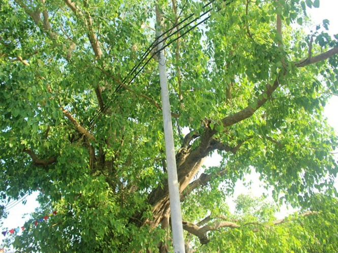 Hơn 800 năm tuổi nhưng cụ cây vẫn sum suê và xanh mướt