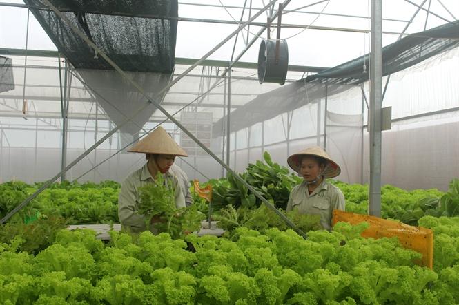 Công nhân thu hoạch rau sạch