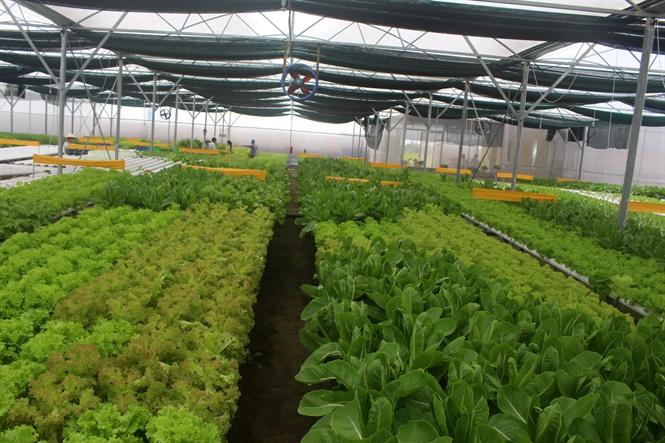 Những vựa rau xanh mướt vào thời kỳ thu hoạch