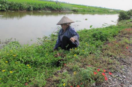 Bà Nguyễn Thị Tài ở xã Hải Quang cho biết hơn 1 năm nay bà có thêm một niềm vui là trồng và chăm sóc cho những luống hoa được trồng ven đường, trước ngôi nhà mình