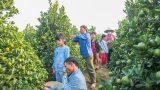 Nam Định: Rộn ràng quất Tết Thanh Khê