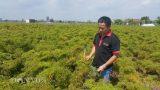 Cầm bằng đại học về quê trồng đinh lăng, trai trẻ thu gần 1 tỷ/năm