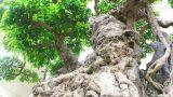 Ngắm cây sanh giá triệu USD có nguồn gốc từ Nam Định