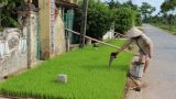 Nam Định: 23.100ha lúa phải gieo cấy lại